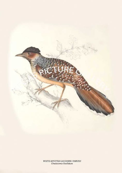 Fine art print of the WHITE-SPOTTED LAUGHING THRUSH - Cinclosoma Ocellalum by John Gould (1831) reproduced by Segas Picture Gallery.